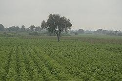 250px-Cotton_field_in_sathanur,_perambalur_JEG2974